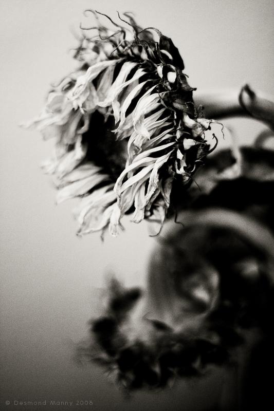Sunflower, Bedraggled - June 2008