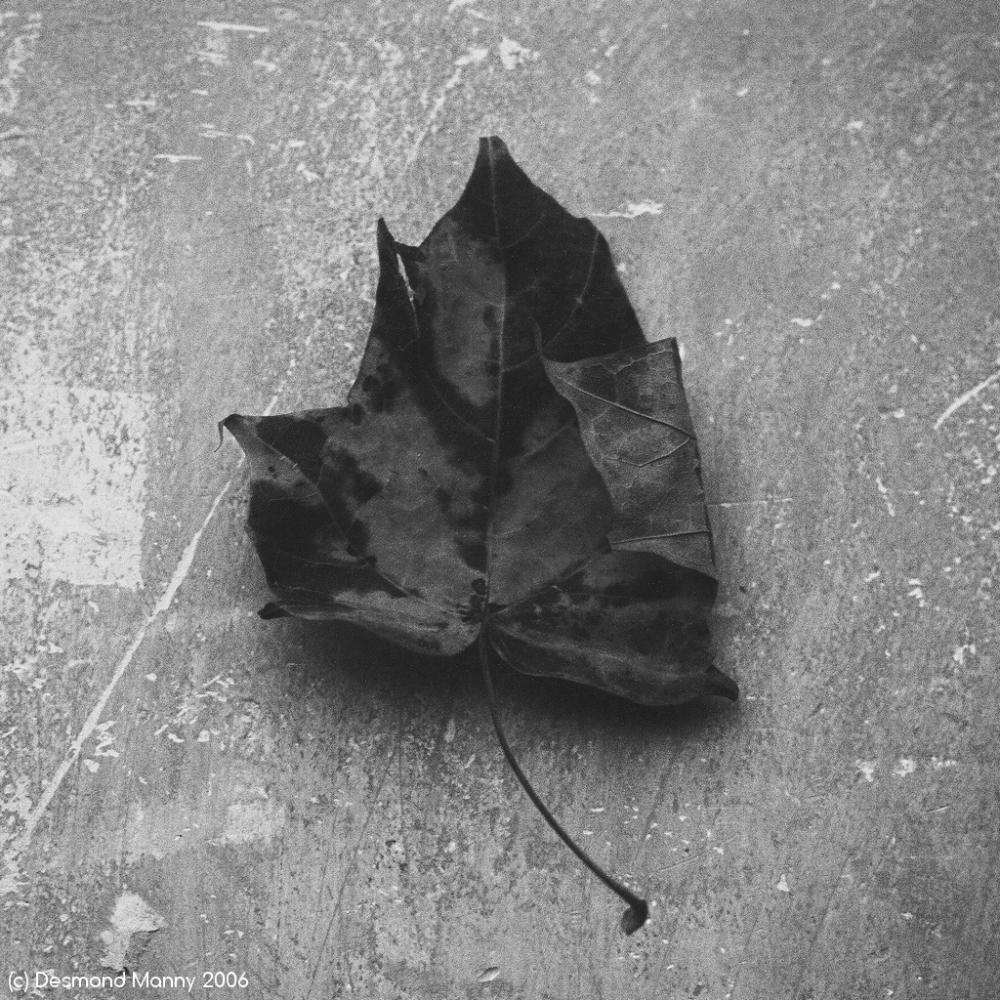 Leaf Study - 2006