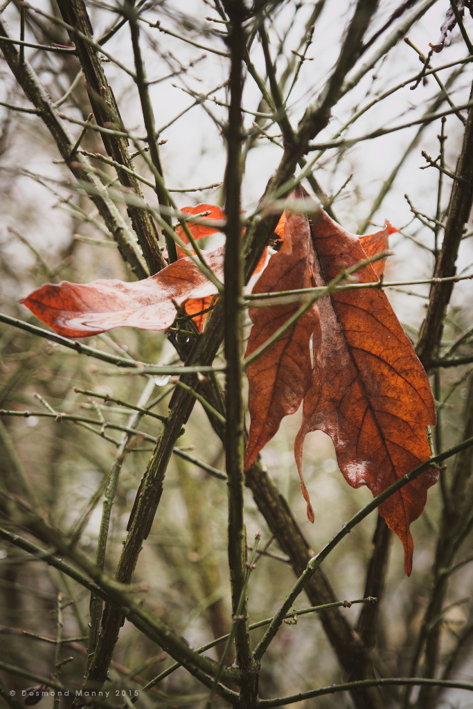 Leaves Caught in Branches #1