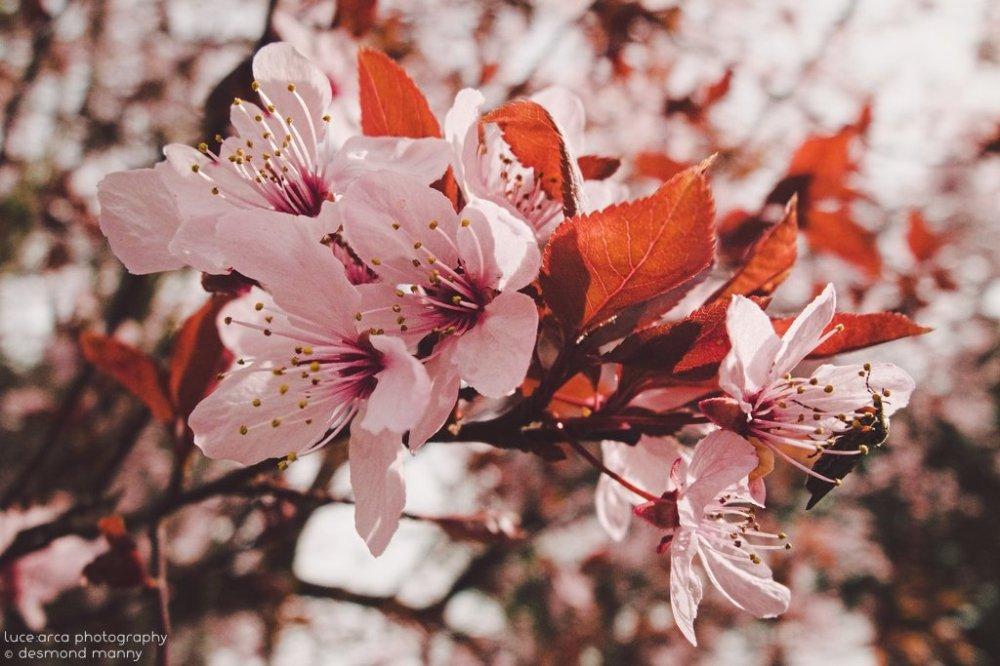 Sakura #1 - March 2015