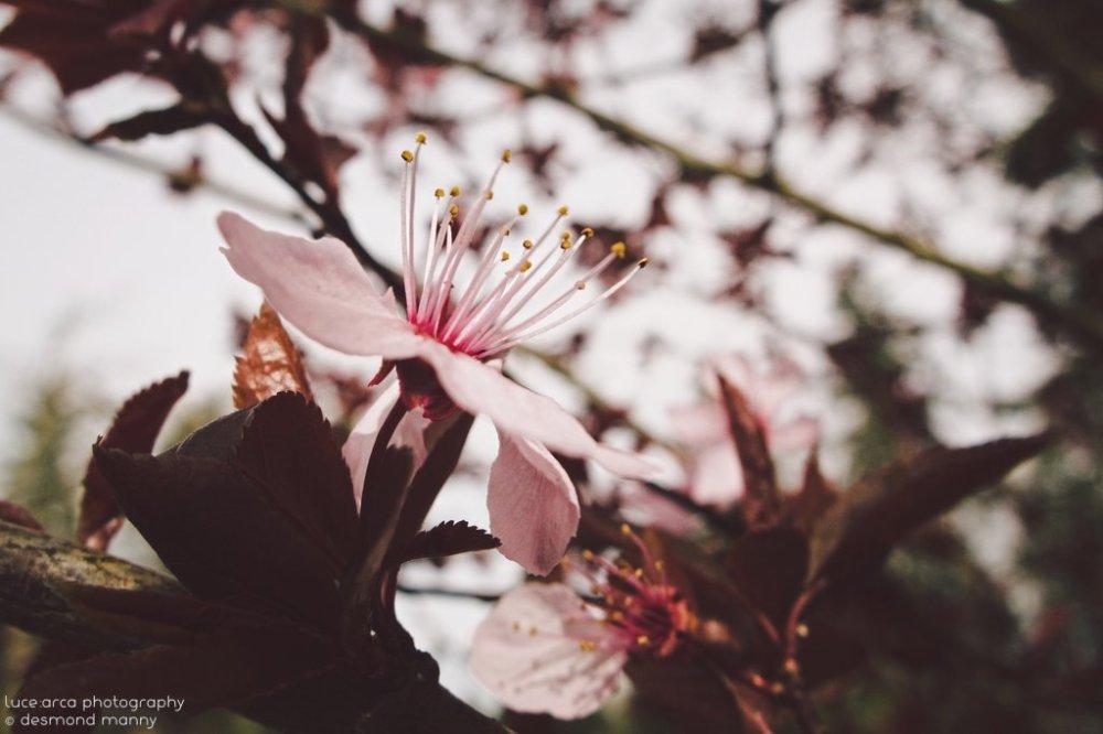 Sakura #2 - March 2015