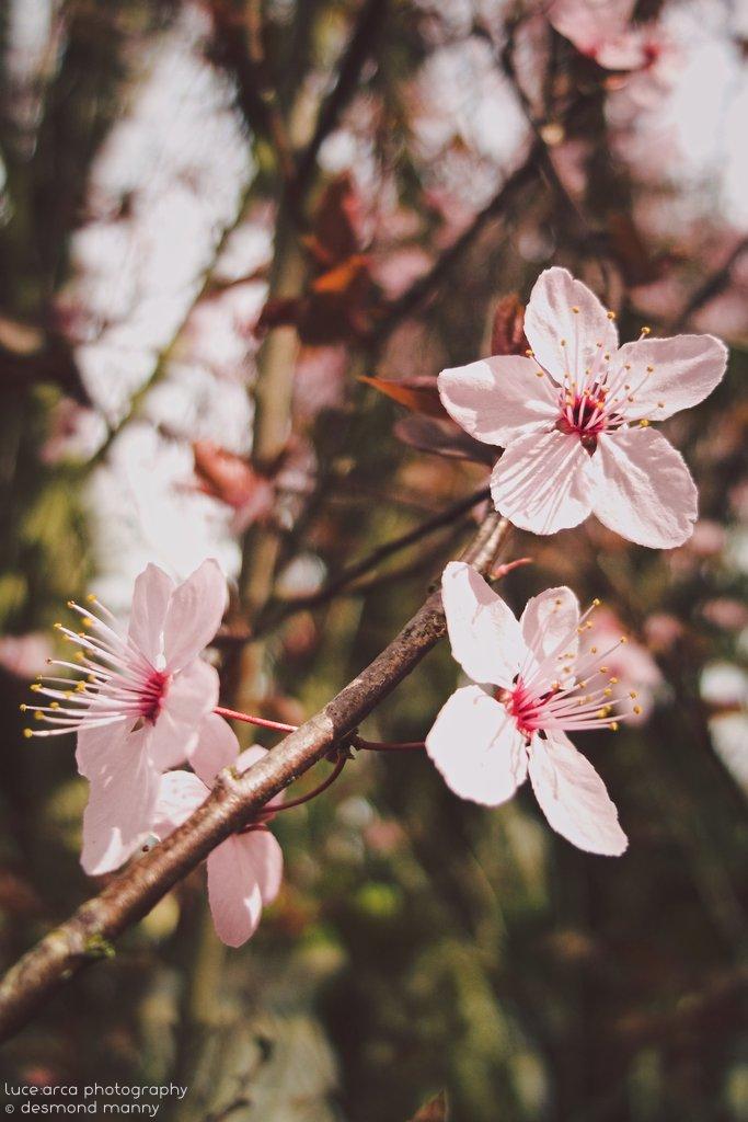 Sakura #4 - March 2015
