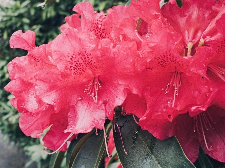 Rhododendron No. 1