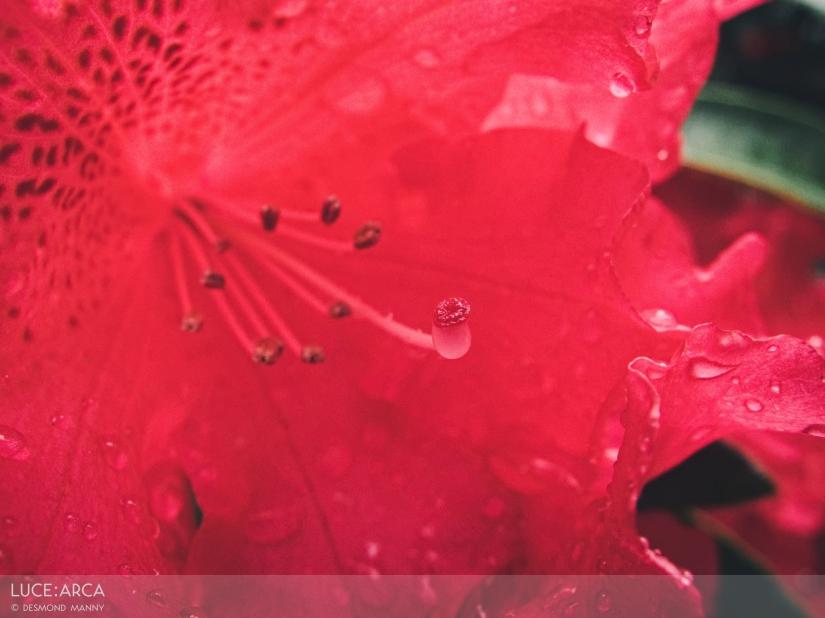 Rhododendron No. 2