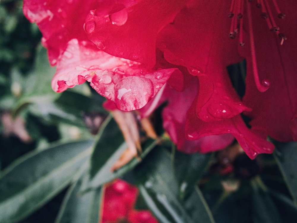 Rhododendron No. 3