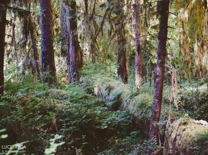 Hoh Rainforest No. 3