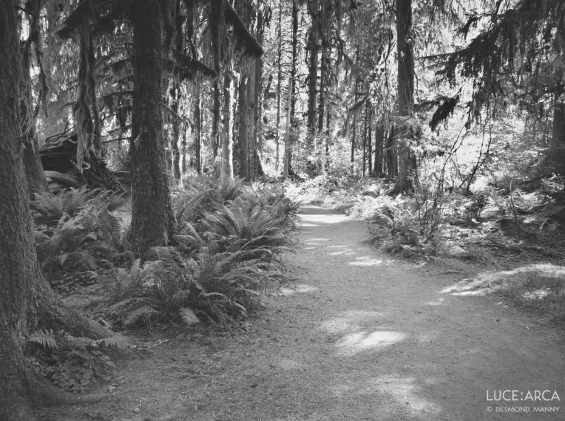 Hoh Rainforest No 7
