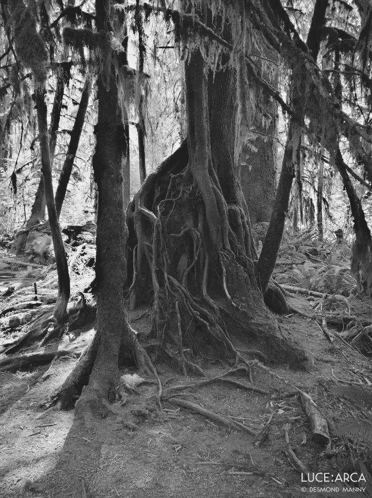 Hoh Rainforest No 8