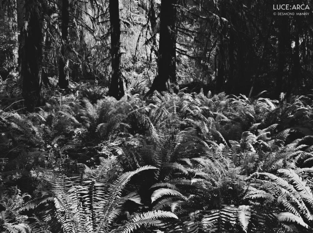 Hoh Rainforest No 16