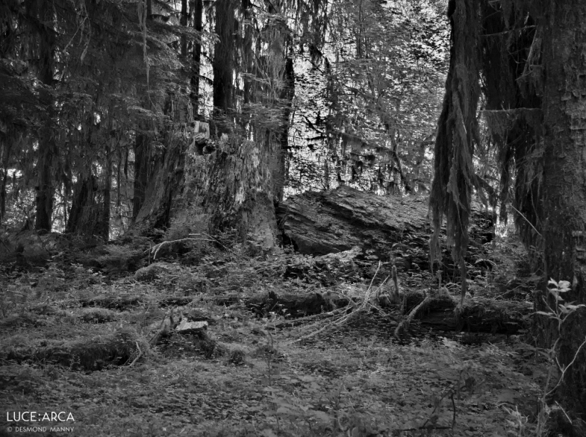 Hoh Rainforest No 19
