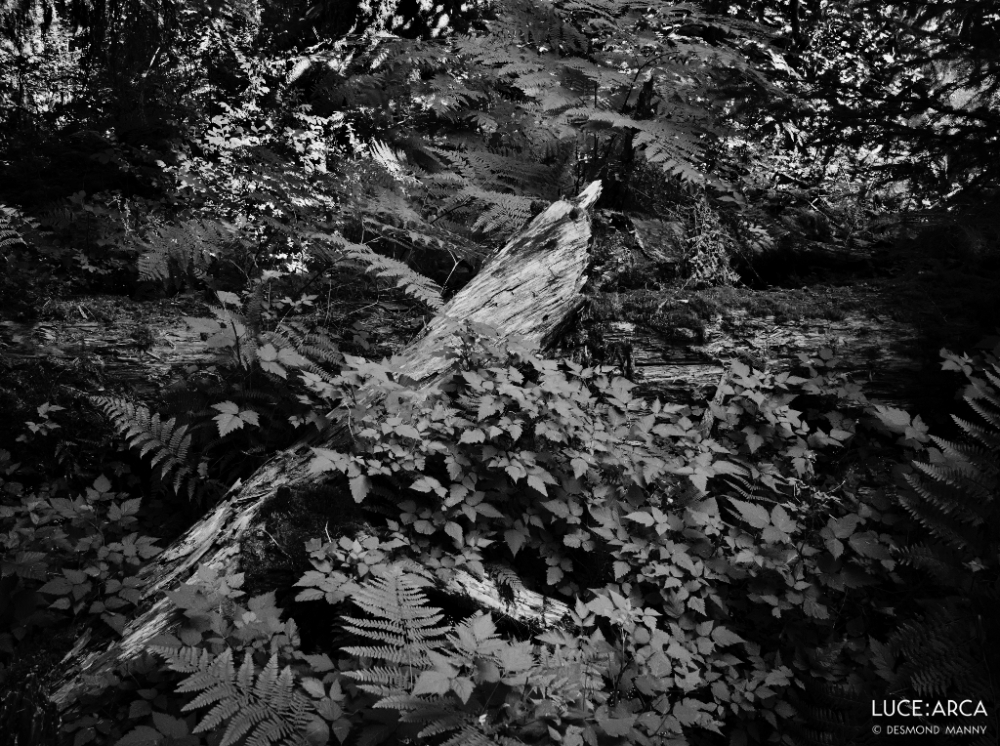 Hoh Rainforest No 20