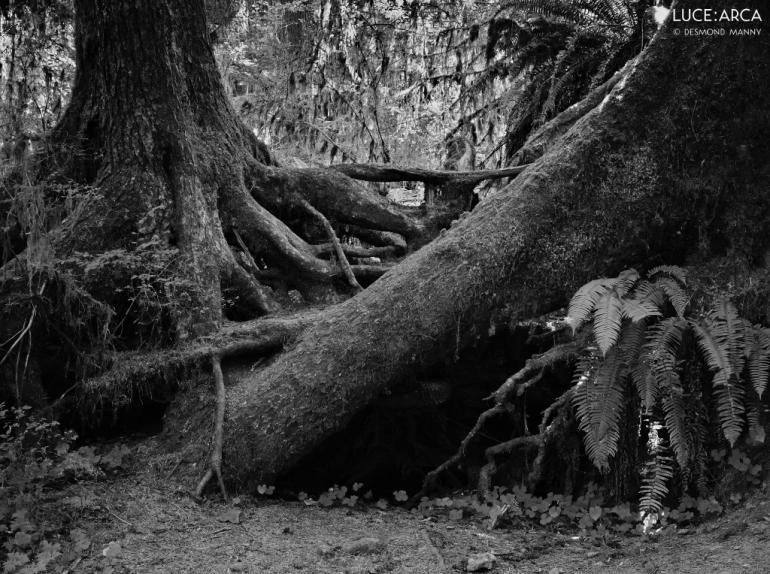 Hoh Rainforest No 22