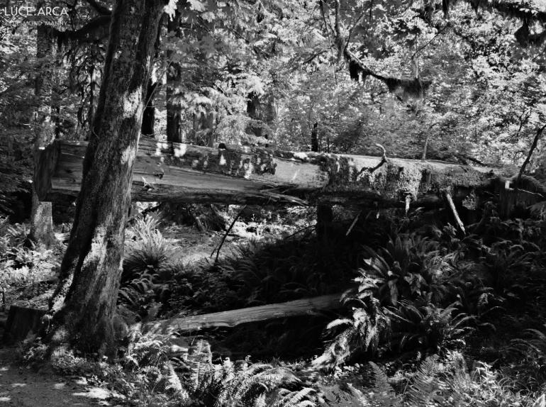 Hoh Rainforest No 24